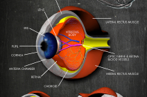 3d human eye cross-section